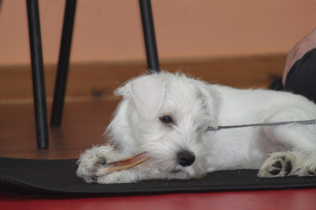 White dog with chew treat at puppy training class
