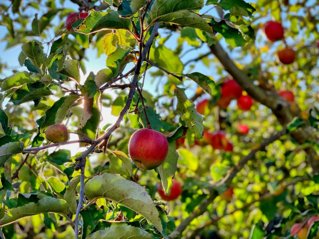 Red apples on an apple tree. Photography credit: Timotheus Frobel